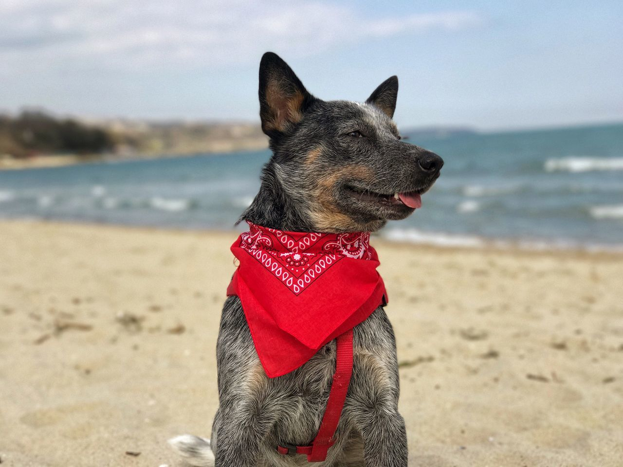 New bandana! Pets Dog One Animal Animal Themes Domestic Animals Beach Sea Sand Sky Mammal Day No People Nature Outdoors Water Horizon Over Water Close-up Australiancattledog Blue Dog Blue Heeler Australian Cattle Dog Bandana Focus On Foreground