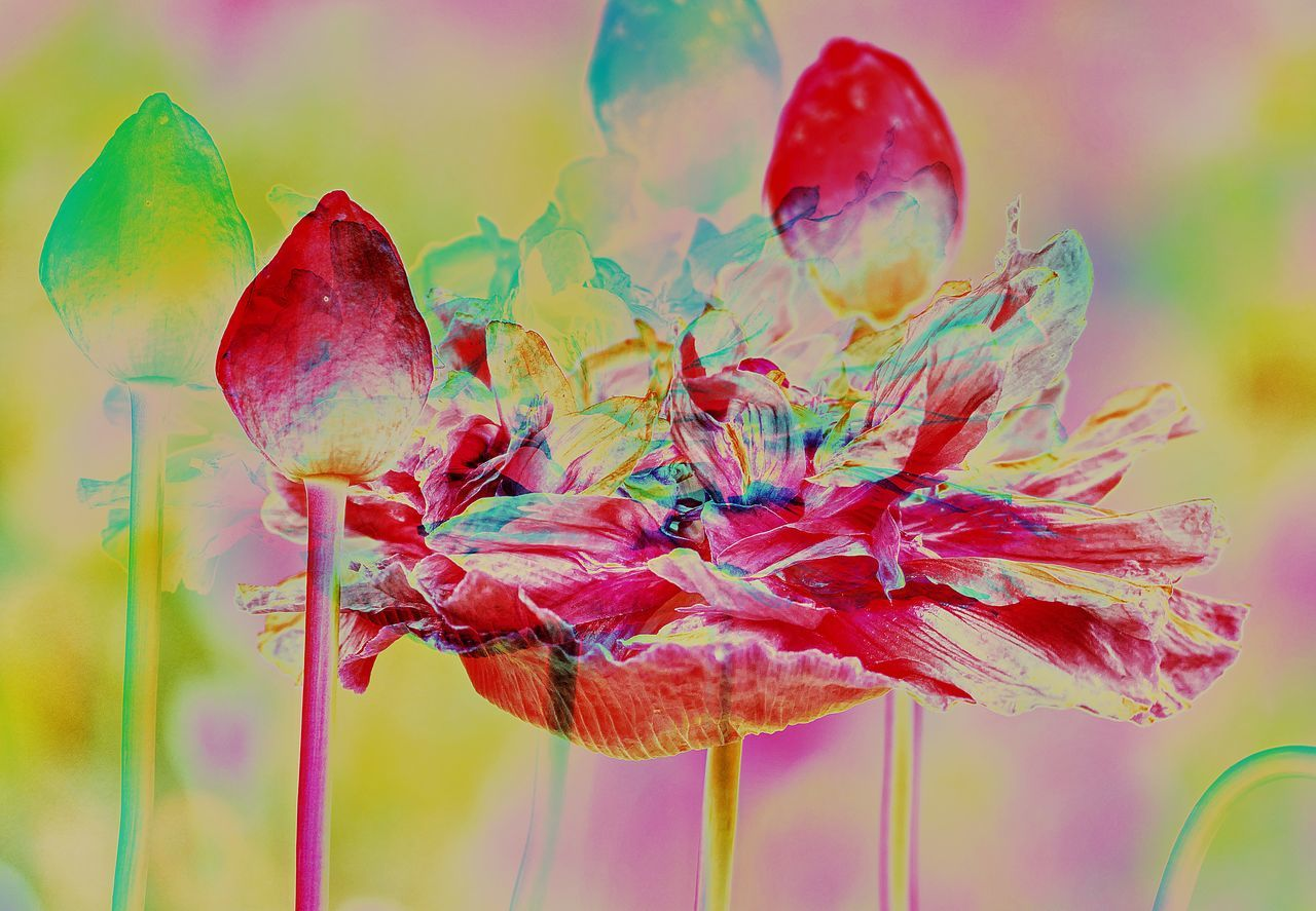 the poppy festival, a feast of colors 3D 3D Art Art Beauty In Nature Blooming Close-up Day Experimental Experimental Photography Fragility Multi Colored Nature No People Outdoors Poppies  Poppy Field Poppy Flowers EyEmNewHere