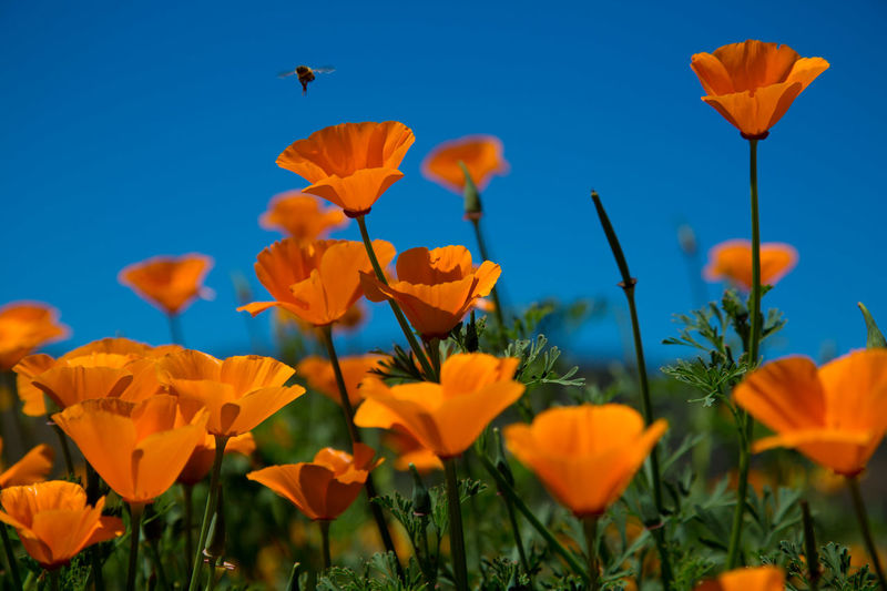 Beauty In Nature Blooming Botany California Poppies Close-up Day Field Flower Flower Head Fragility Freshness Growth In Bloom Landscape Nature No People Orange Color Outdoors Petal Plant Sky Yellow Bee