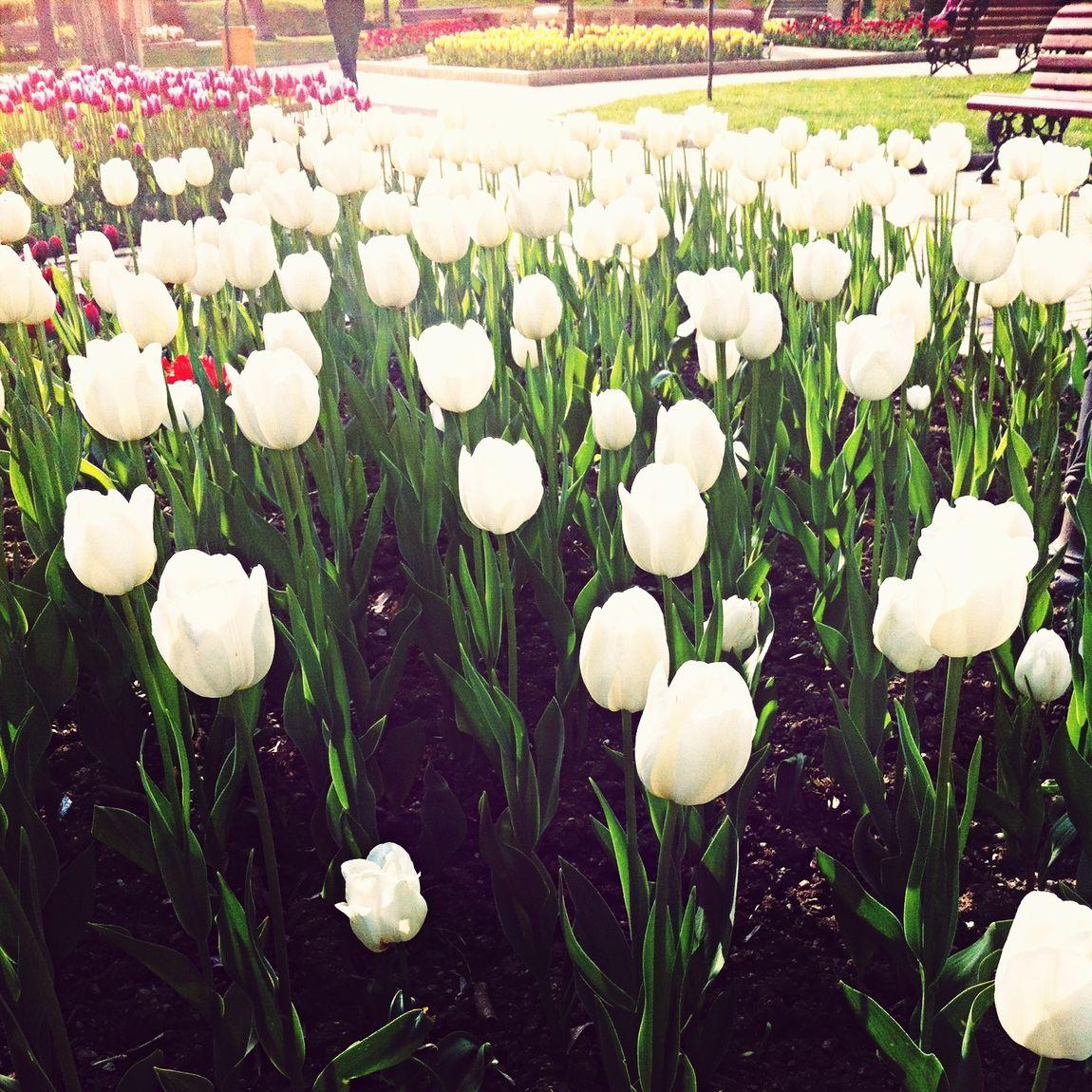 Tulips #spring Soaking Up The Sun Walking Around Park