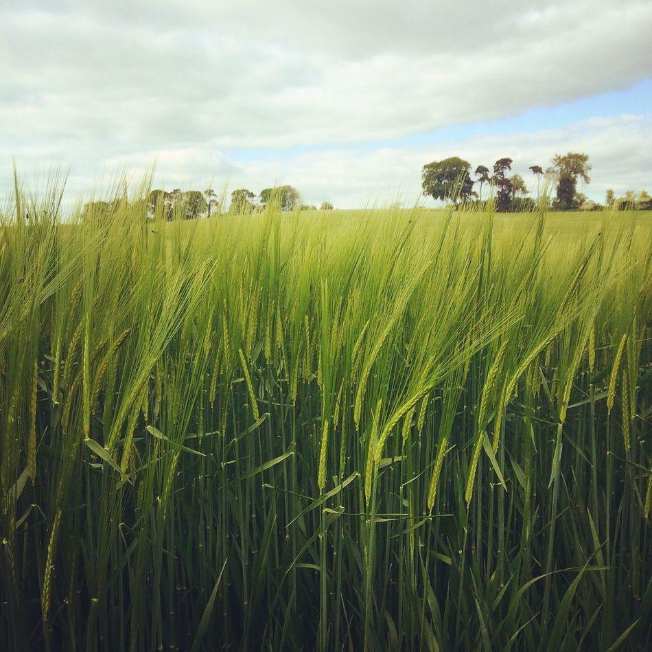 🌾🌾🌾 Nature Long Grass Blowinginthewind