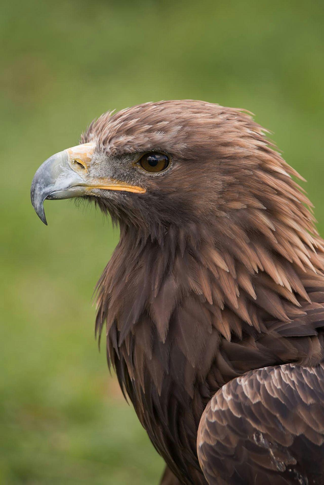 Beautiful stock photos of eagle, Animal Themes, Animal Wildlife, Animals In The Wild, Beak