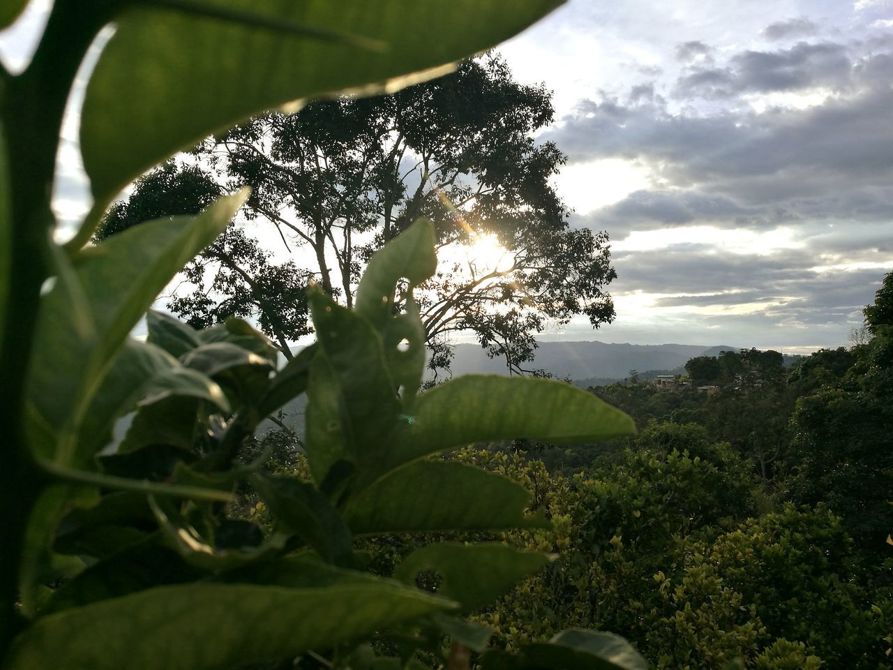 growth, tree, nature, leaf, beauty in nature, green color, plant, agriculture, no people, day, tranquility, outdoors, scenics, banana tree, sky, rural scene, close-up, tea crop, freshness