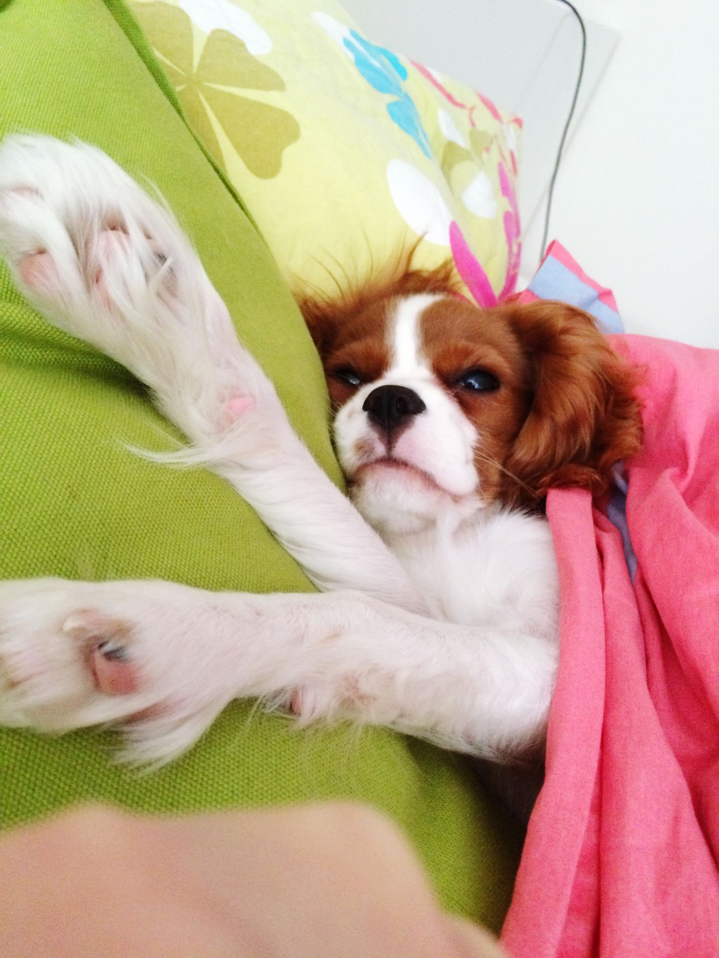 Good morning sunshine Dog Friends Cavalier King Charles Spaniel Sleepin With My Dog Cute Pets