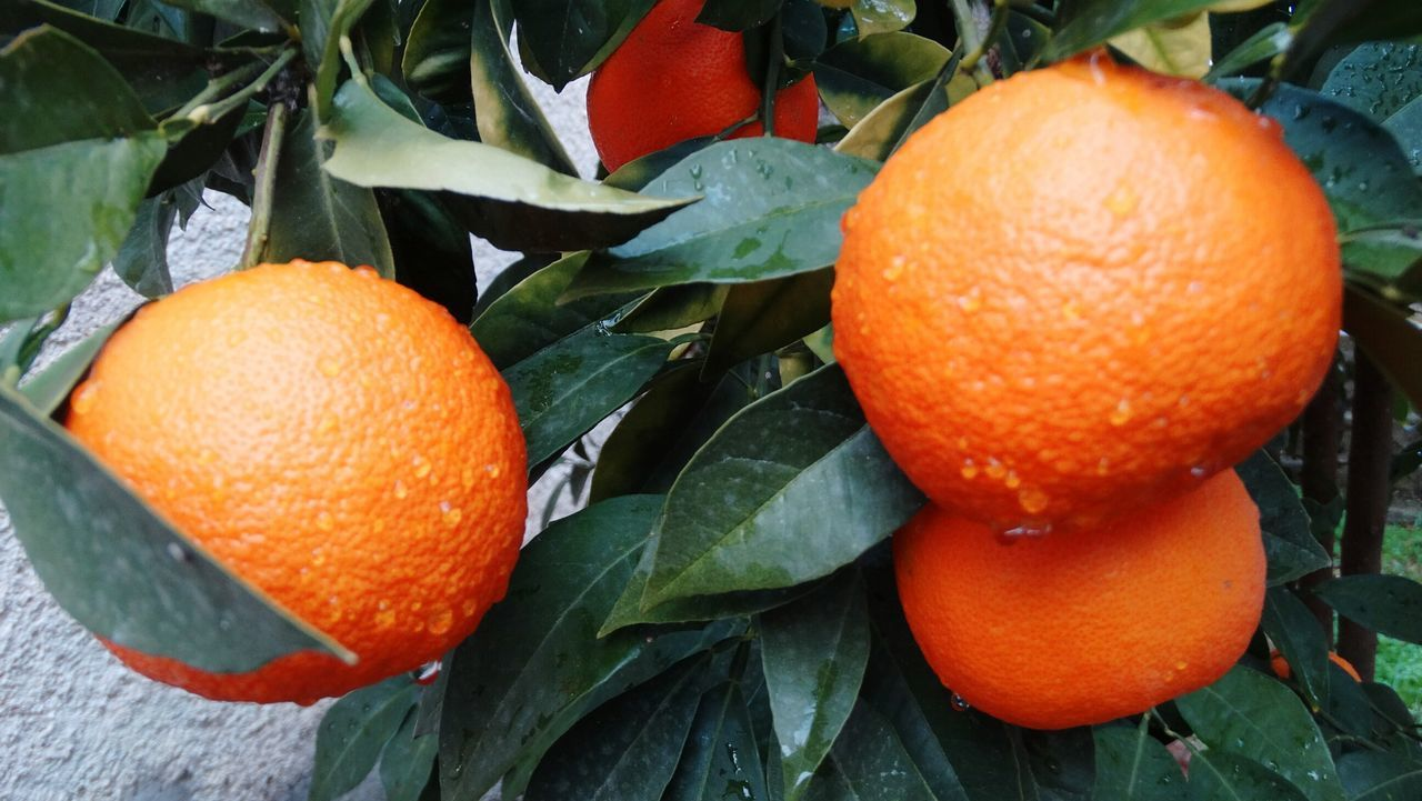 Orange Orange - Fruit Fruite Orange Tree Orange Rain Beauty In Nature Fruit