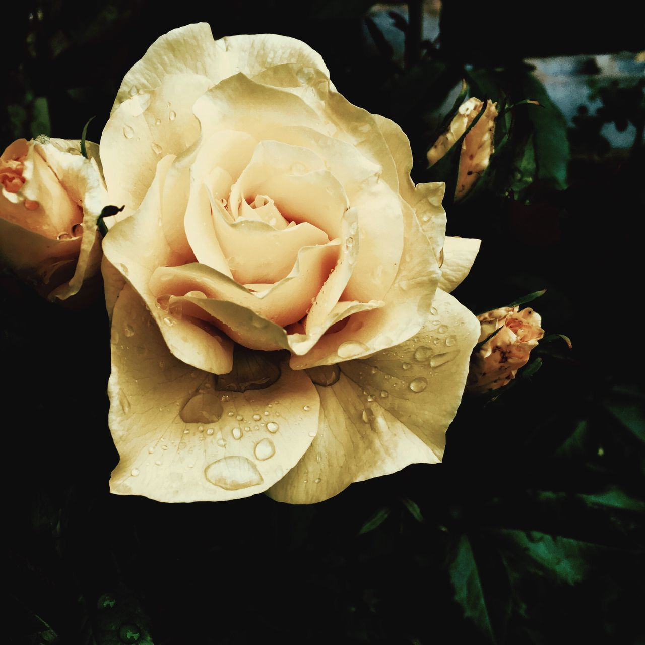 Flower Rose - Flower Rosé Fragility Petal Nature Plant Close-up Freshness Growth Beauty In Nature Water Flower Head No People Outdoors Day