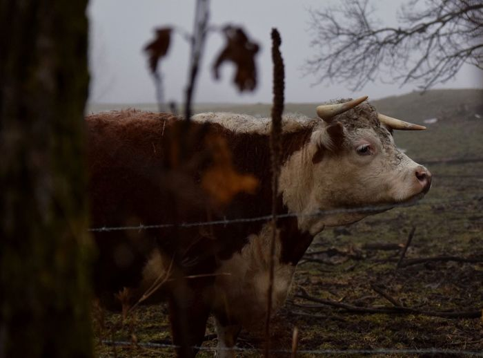A misty day Nature Outdoors Cow Mist Fog Foggy Weather Wisconsin Driftless Region Animal Themes Animal Photography Mammal EyeEmNewHere