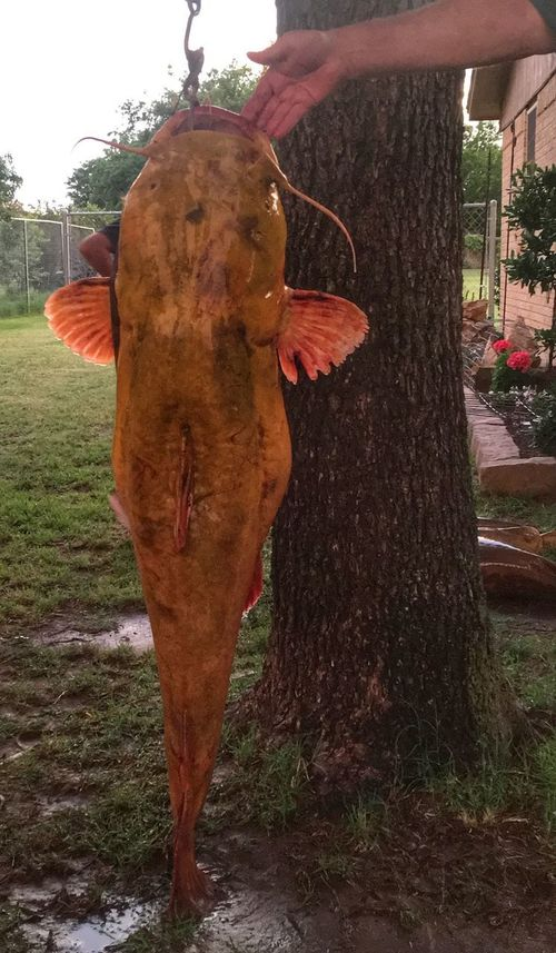 70 Pound Catfish Catfish Giant Catfish Giant Fish Catfishing Freshwater Fish Fishing Fish Eyeem Fish Fishing Time Caught Food Large Lake Life BIG WOW Check This Out Photooftheday Lifestyles Nature_collection IPhone EyeEm Nature Lover Hobbies Real People Human Body Part One Person Human Hand Outdoors Standing Day Food And Drink Men Tree Mammal Women Freshness Adult People