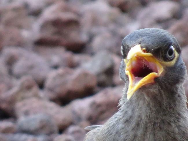 Common Mynah series (4) Acridotheres Tristis Indian Myna Birds EyeEm Birds Found On The Roll