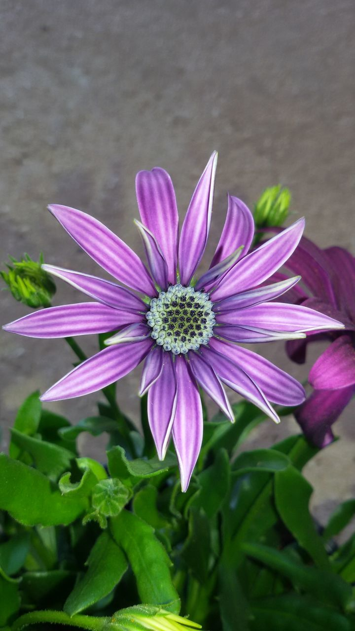 flower, petal, fragility, purple, beauty in nature, flower head, growth, freshness, nature, plant, no people, blooming, outdoors, osteospermum, day, close-up