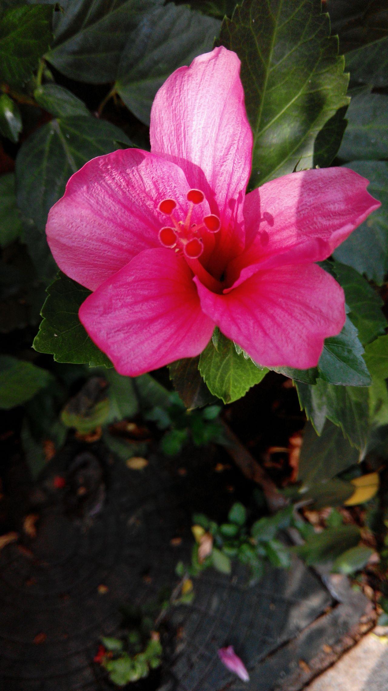Pink shoe flower Flower Flowers Shoeflower Pinkshoeflower Pinkflower