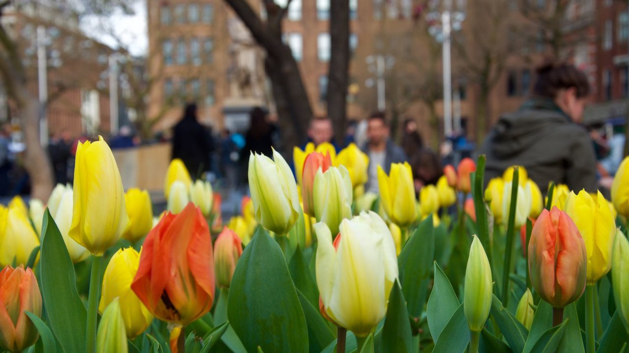 CLOSE-UP OF TULIPS BLOOMING