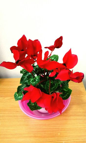 Red Freshness Studio Shot Flower Close-up Indoors  Flower Head Day Indoorplant
