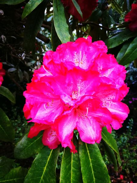 Rhodendron Pink Color Flower Head Close-up Petal Flower Blooming Water Beauty In Nature
