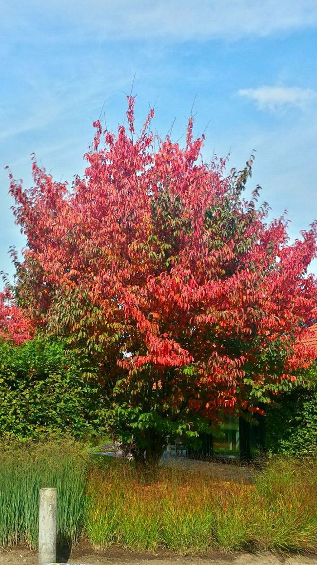 Hugging A Tree Enjoying The Sun Walking Around Learn & Shoot: Layering Harmonic Enjoying The Colours Ladyphotographerofthemonth Warming The Soul Blue Sky Autumn 2015 Autumn Colours Autumn Trees Green And Red Leaves Red Leaves Relaxing In Harmony With Nature Nature Harmony Beautiful Scenery Beautiful Nature Popular Photos Beautiful Sky Sky And Tree Green Grass Flowers,Plants & Garden Autumn Leaves
