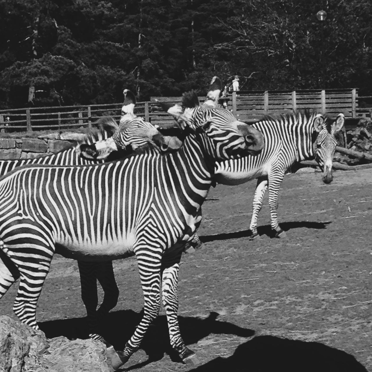 Zebra Zebras Animals Blackandwhite