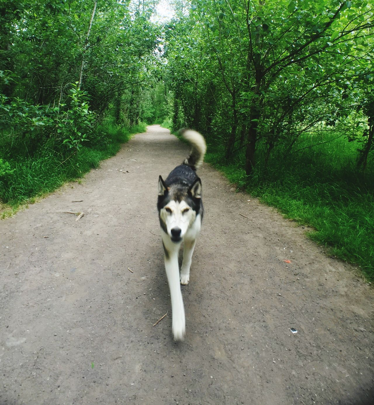 Kai on the move Cute Dog  Dogs Huskyphotography Husky ♡ Husky Love First Eyeem Photo