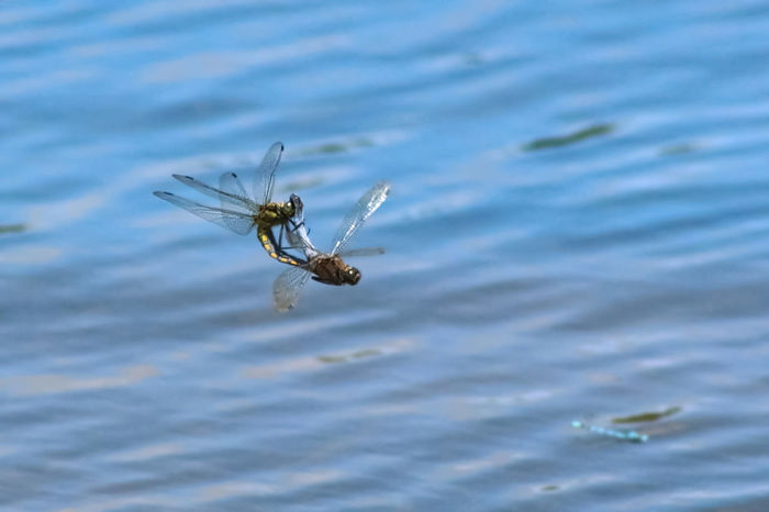 Animal Themes Animal Wildlife Animals In The Wild Close-up Day Dragonfly Insect Mating Pair Of Insects Nature No People One Animal Outdoors Water