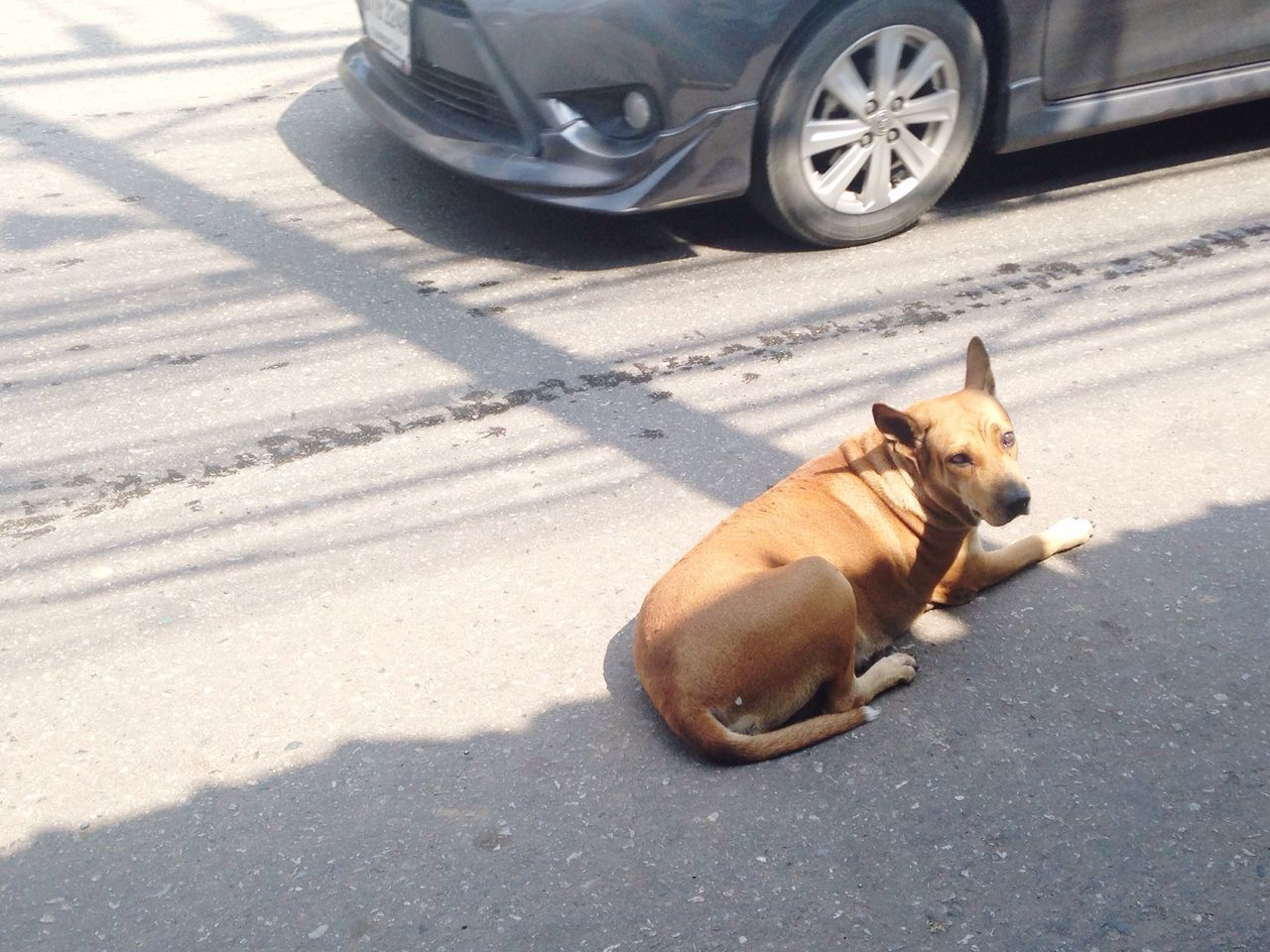 Brown Dog Thai Street Dog Chachoengsao Bangkla Temple Trip Road Trip Sunday Morning Driving Trip Thailand