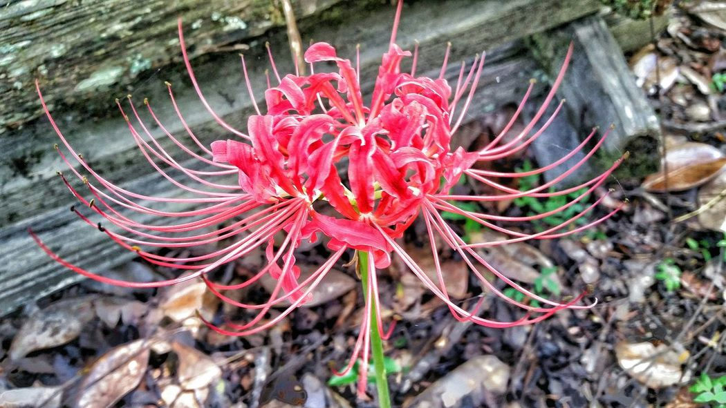 Red Spider Lily Spider Lilies Beautiful Day Nature_collection Flower Collection