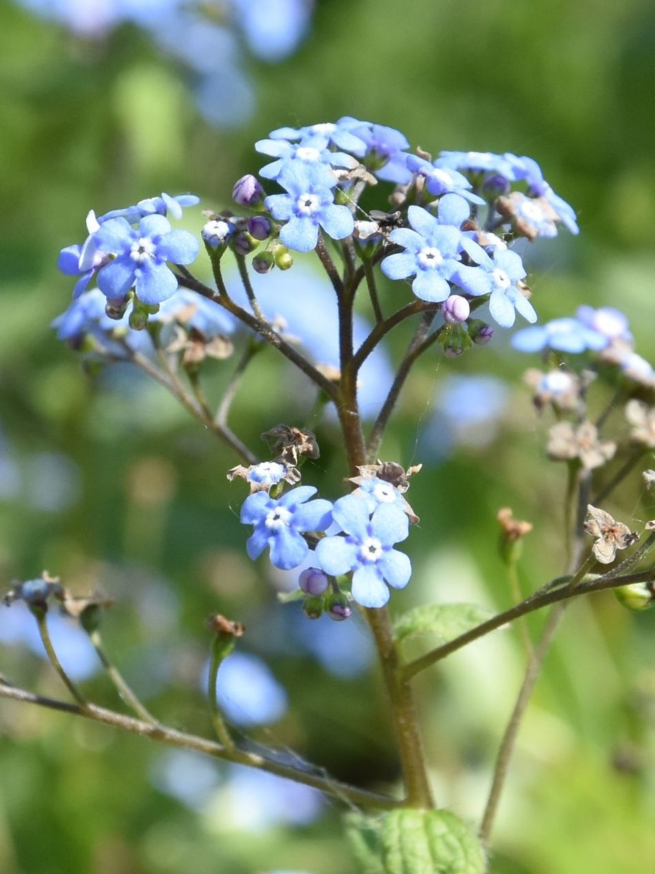 Flower Nature Outdoors Close-up Day Plant Fragility Beauty In Nature No People Flower Head Blue Blue Flowers