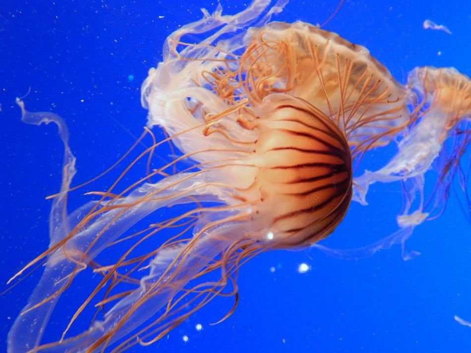 Vancouver Aquarium, Vancouver Animal Animal Themes Animals In The Wild Beauty In Nature Blue Close-up Jellyfish Nature No People Sea Sea Life Swimming UnderSea Underwater Vancouver Vancouver Aquarium Water