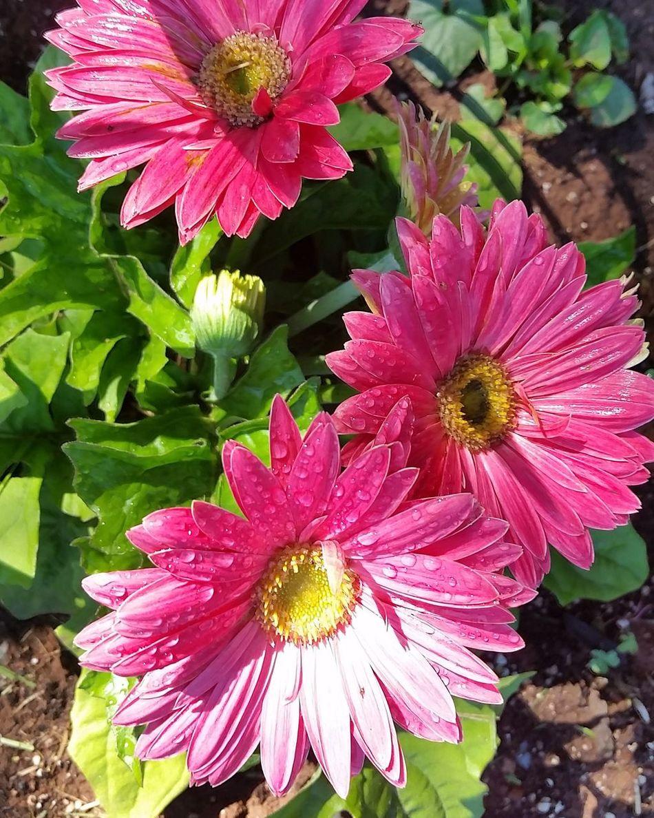Gerber Daisy Hotpink Gardening Sun Proud Mothernature Flowerbed
