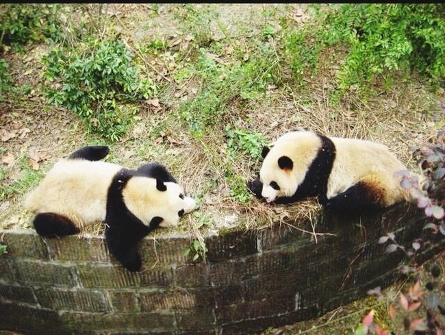 Bamboo Forest National Treasure Inland Sichuan Province Panda Cute Animals China Lovely Black And White Fluffy Fat