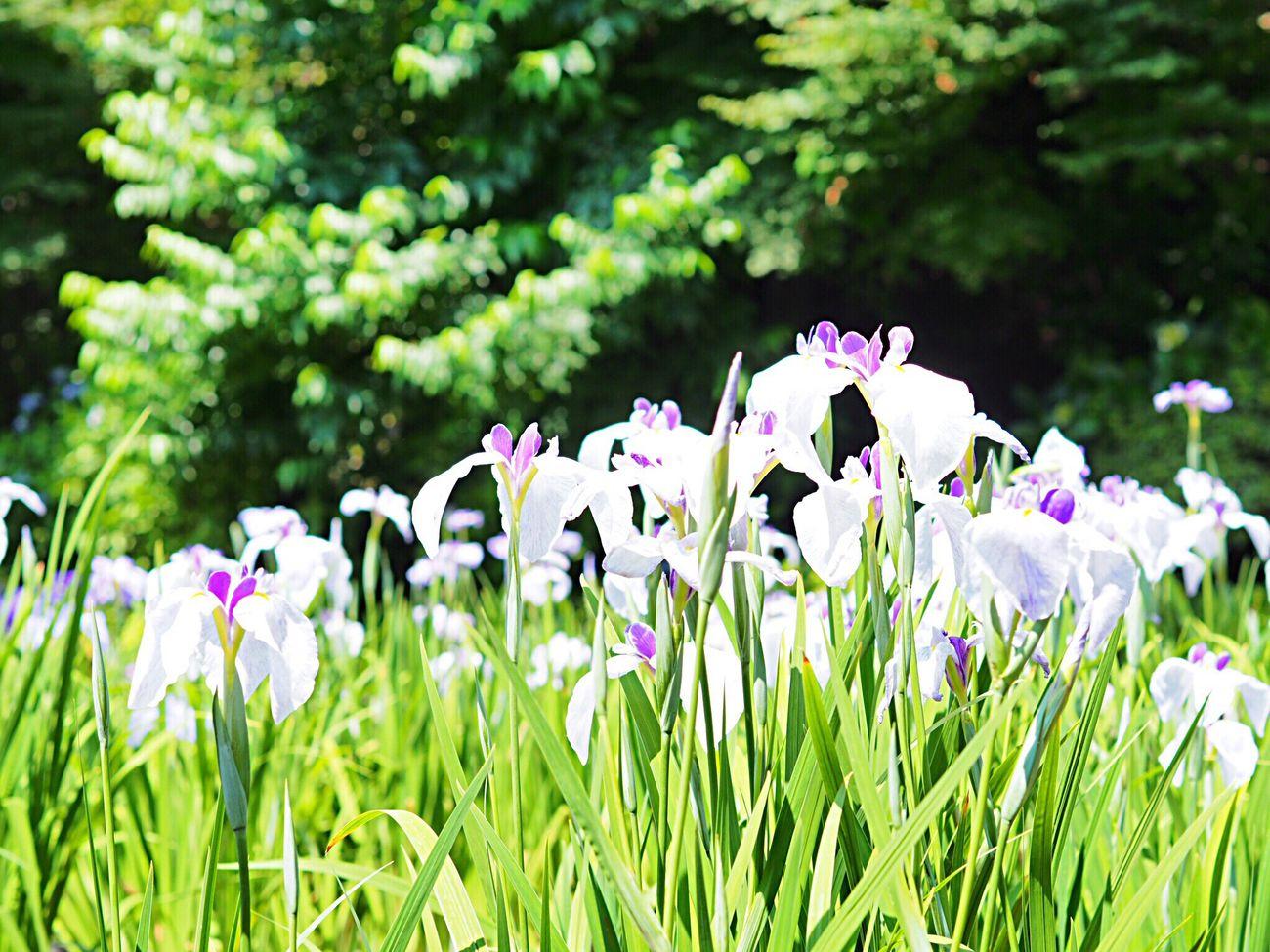 Flower Growth Nature Beauty In Nature Fragility Purple Freshness Plant Focus On Foreground Green Color Flower Head Blooming White Flower Iris Flower Iris 花菖蒲 Scenics Landscape Odawara Kanagawa,japan Olympus Om-d E-m10