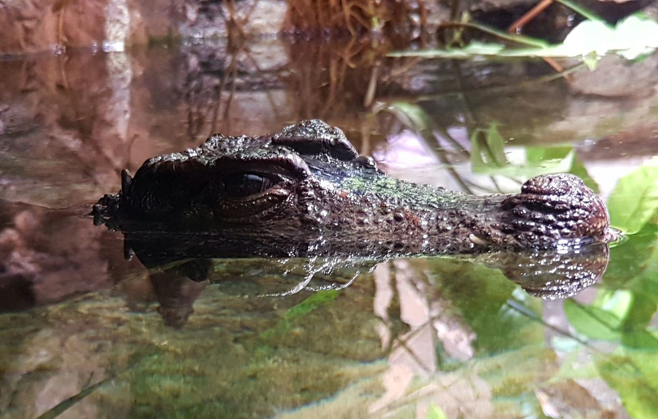 One Animal Animal Themes Reptile Alligator Reflection Animals In The Wild Crocodile Animal Wildlife Nature Background Animal Photography Animal_collection Underwater Reptile Photography Reptile Incognito Undercover Underground Undercovers See You When I Sleep See You Water Krokodile