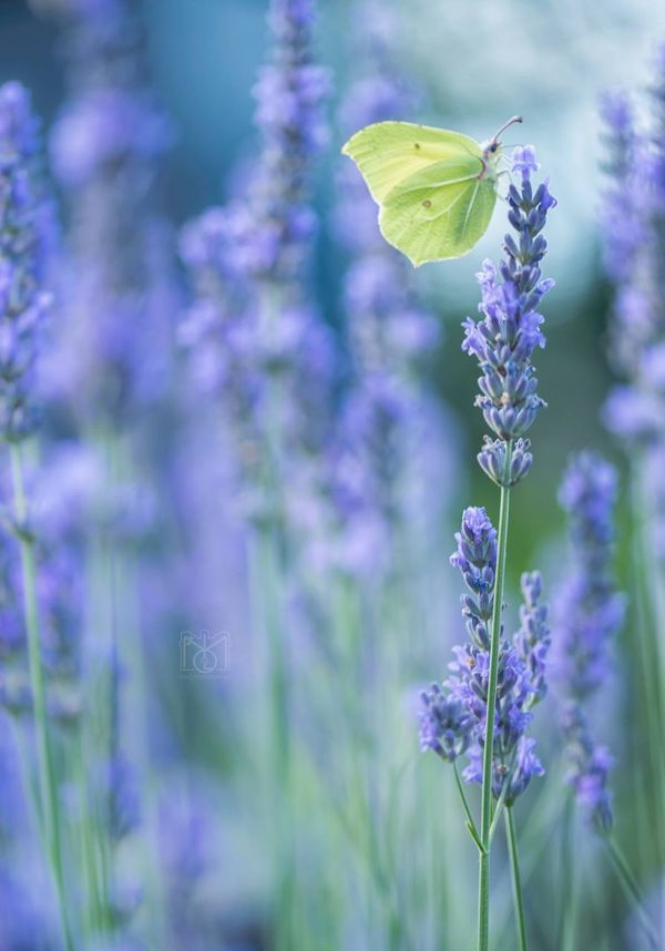 Gonepteryx * Nature Wildlife & Nature Beauty In Nature Blooming Butterflies Butterfly Butterfly - Insect Close-up Day Daylight Flower Flower Head Fragility Freshness Growth Lavender Nature No People Outdoors Petal Plant Purple Purple Flower Purple Flowers Wildlife