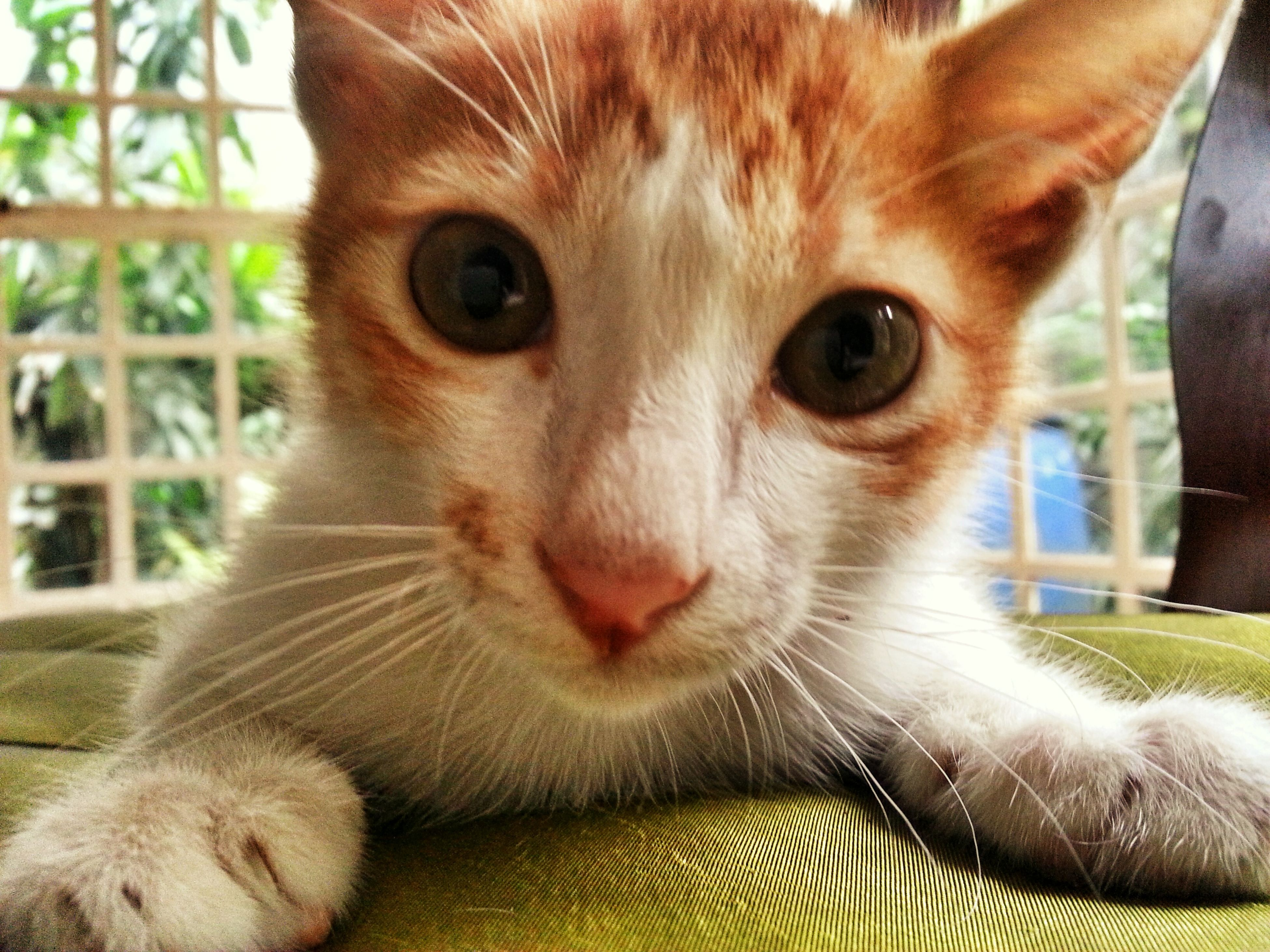 domestic cat, animal themes, one animal, mammal, cat, pets, feline, domestic animals, whisker, portrait, looking at camera, close-up, animal head, indoors, alertness, focus on foreground, animal eye, front view, staring