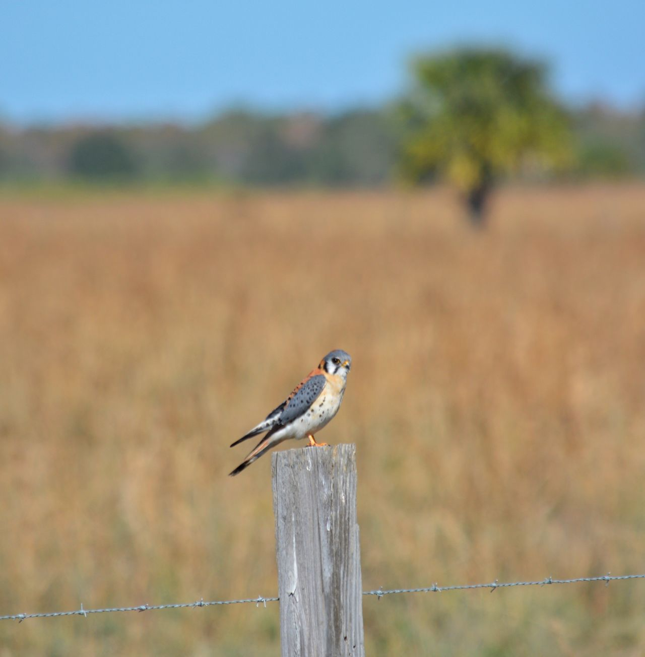 American Kestrel In S. Florida For The Winter Winter Birding In Florida in the St Sebastian River Preserve State Park Bird Focus On Foreground One Animal Animals In The Wild Animal Themes Animal Wildlife Nature Perching Outdoors No People Day Close-up