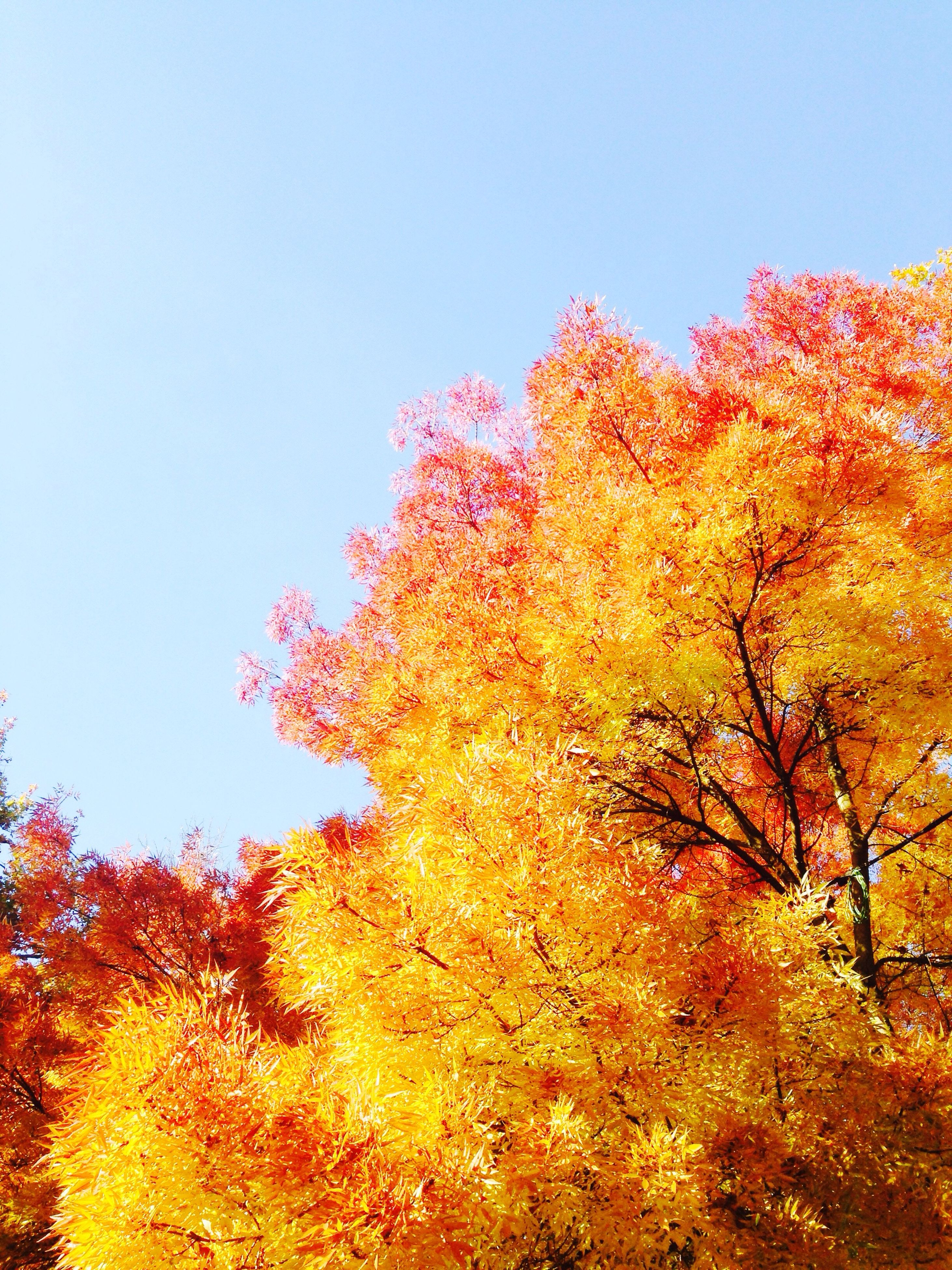 tree, growth, orange color, nature, clear sky, no people, beauty in nature, sky, day, low angle view, outdoors, freshness