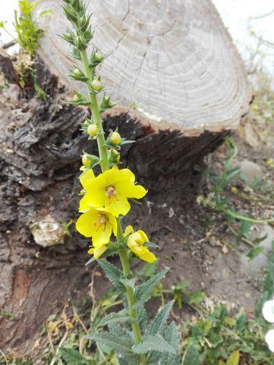 Flor Silvestre De Chile
