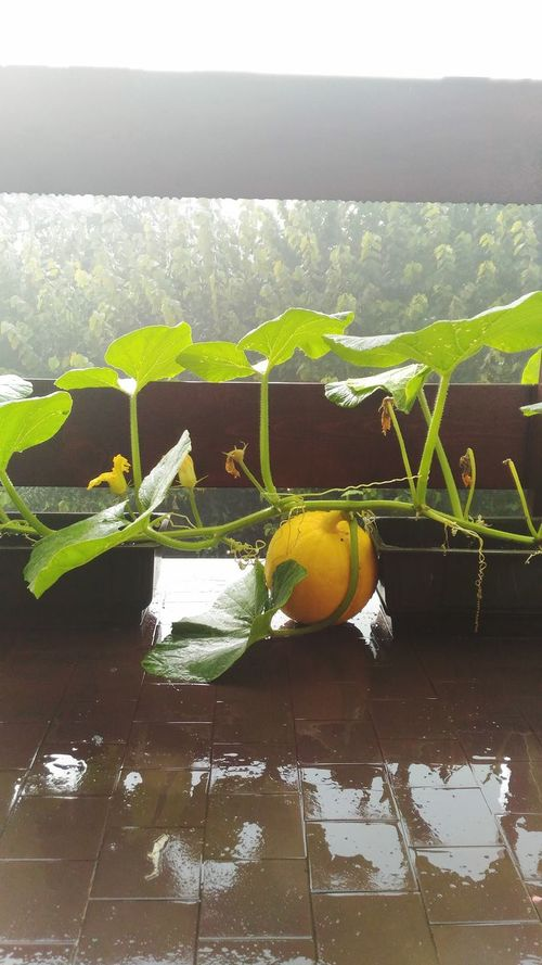 Leaf Nature Growth No People Wet Tree Water Beauty In Nature Vertical Close-up Fragility Day Greenhouse Rainy Day First Eyeem Photo Window Balcony My House Freshness Pumpkin