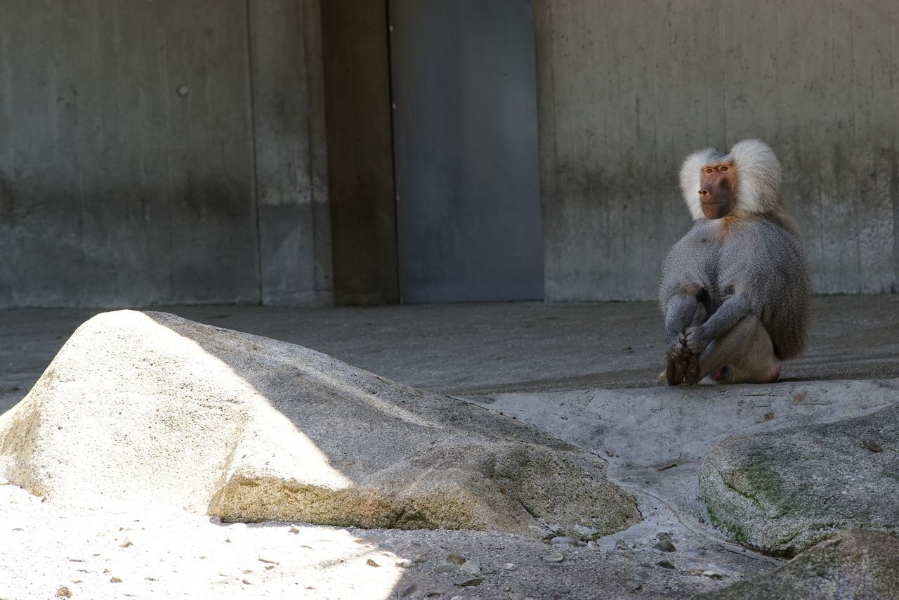 sitting, day, animals in the wild, animal themes, mammal, animal wildlife, one animal, outdoors, no people, full length, monkey, architecture
