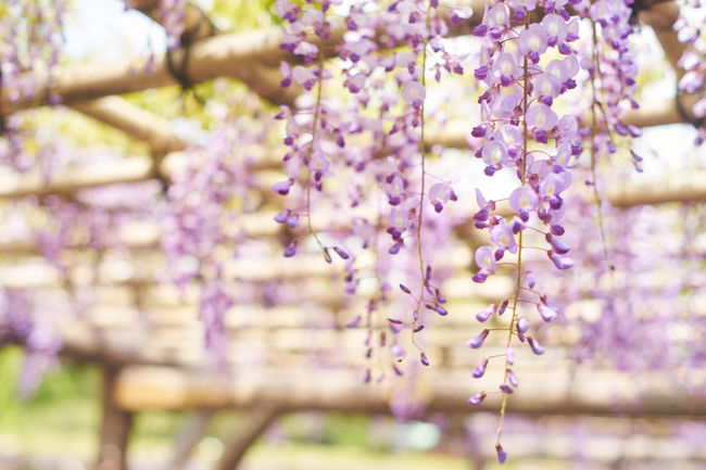 Beauty In Nature Blooming EyeEm Nature Lover Flower Flower Head Freshness Growth Nature Nature Photography Violet Violet Flowers Wisteria Wisteria Flower
