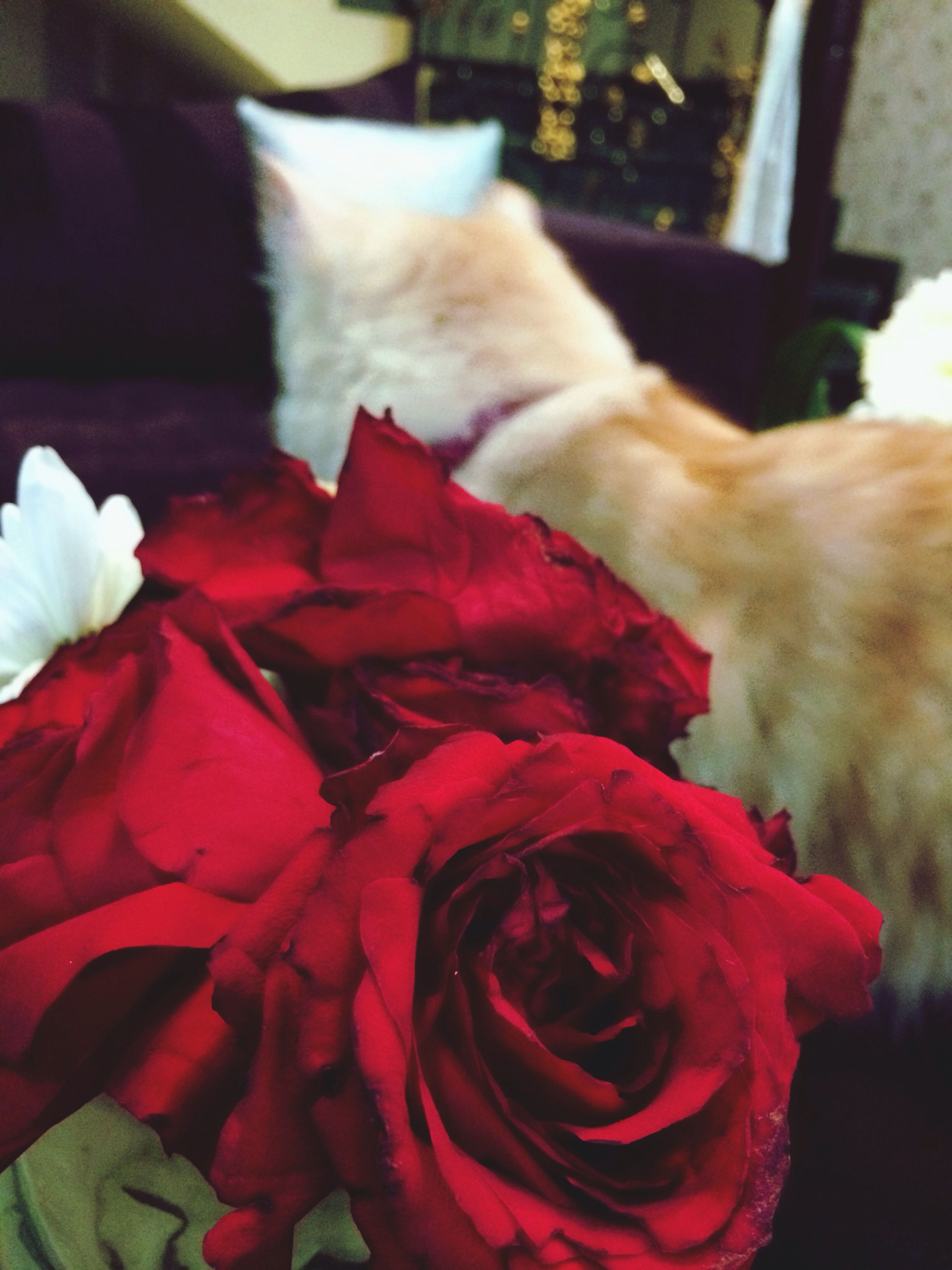 domestic animals, animal themes, pets, mammal, indoors, one animal, flower, red, close-up, domestic cat, focus on foreground, petal, sleeping, cat, relaxation, bed, fragility, home interior, no people, eyes closed