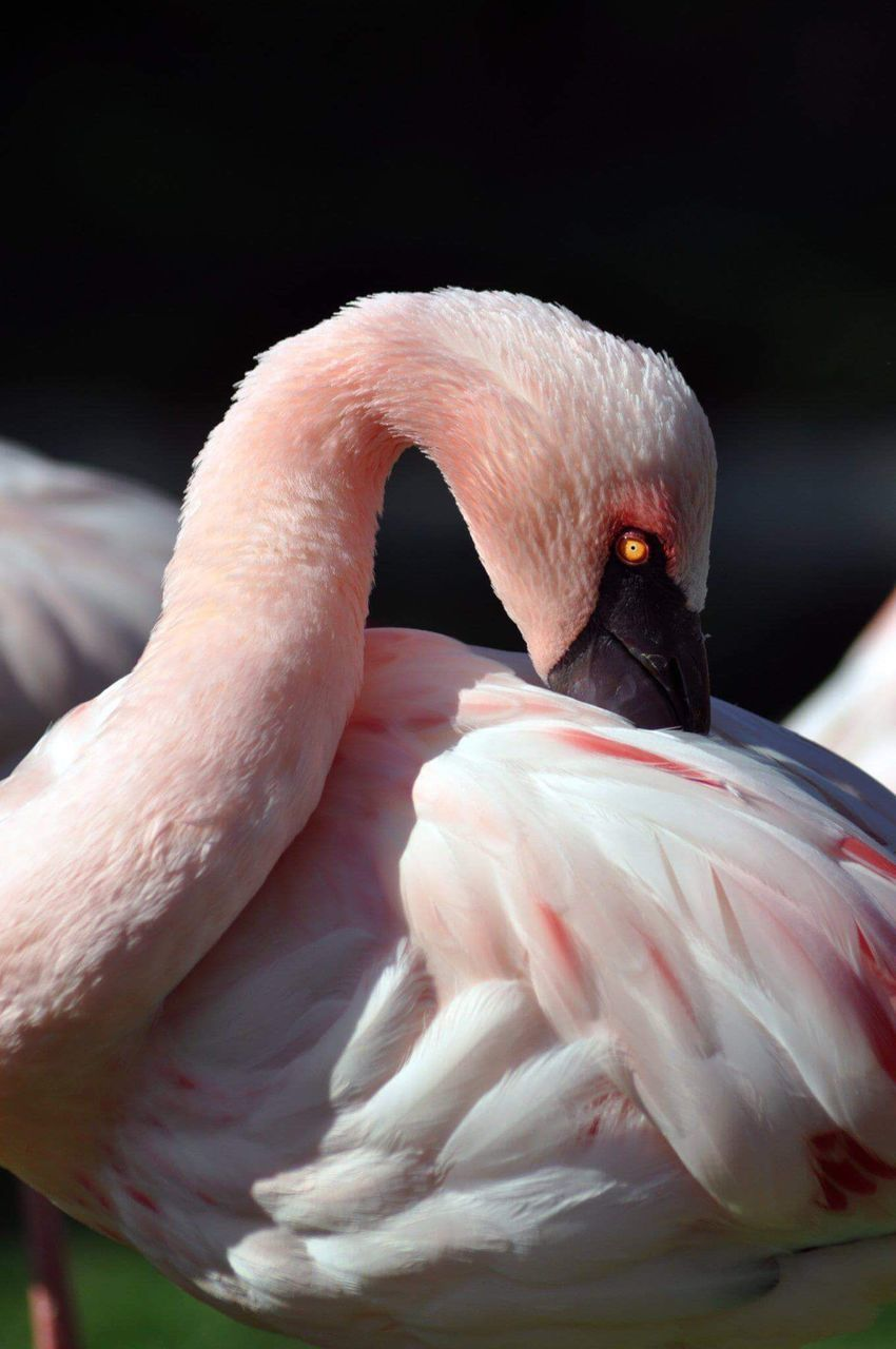 bird, flamingo, animals in the wild, animal themes, one animal, animal wildlife, beak, no people, focus on foreground, close-up, day, pink color, outdoors, nature, swan