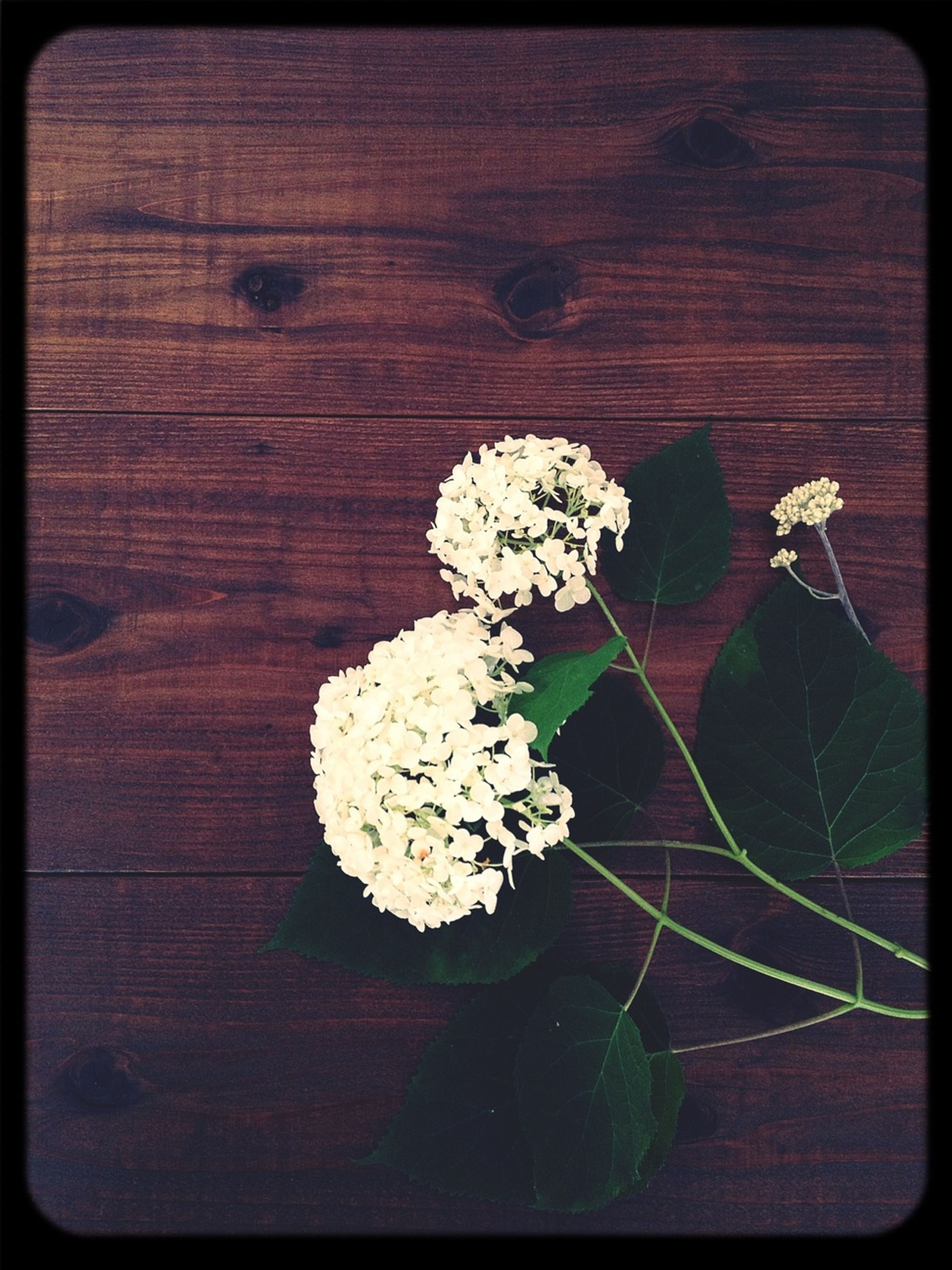 flower, transfer print, fragility, freshness, auto post production filter, growth, petal, nature, close-up, flower head, beauty in nature, leaf, high angle view, plant, wood - material, white color, indoors, no people, blossom, blooming