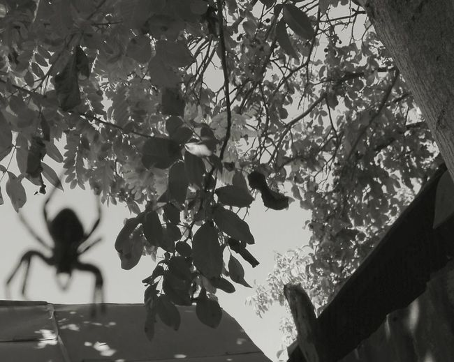 Black & White Black And White B&w Tree Outdoors Branch Nature Spider Spider Web Critter Insect Arahnid Only One Spider Spider Silhouette Tree Trunk No Person WOLFZUACHiV Photography Huawei Photography Eyeem Market Wolfzuachiv Huaweiphotography Ionita Veronica Veronica Ionita On Market WOLFZUACHiV Photos