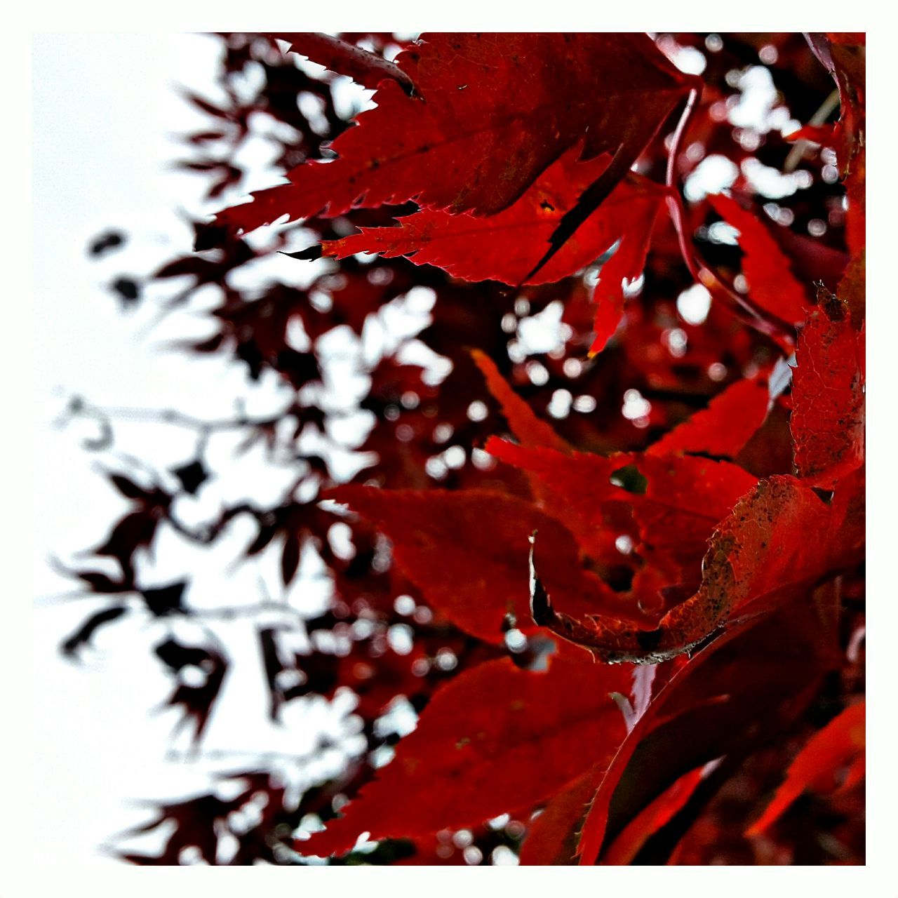 Low Angle View Of Red Tree Leaves During Autumn