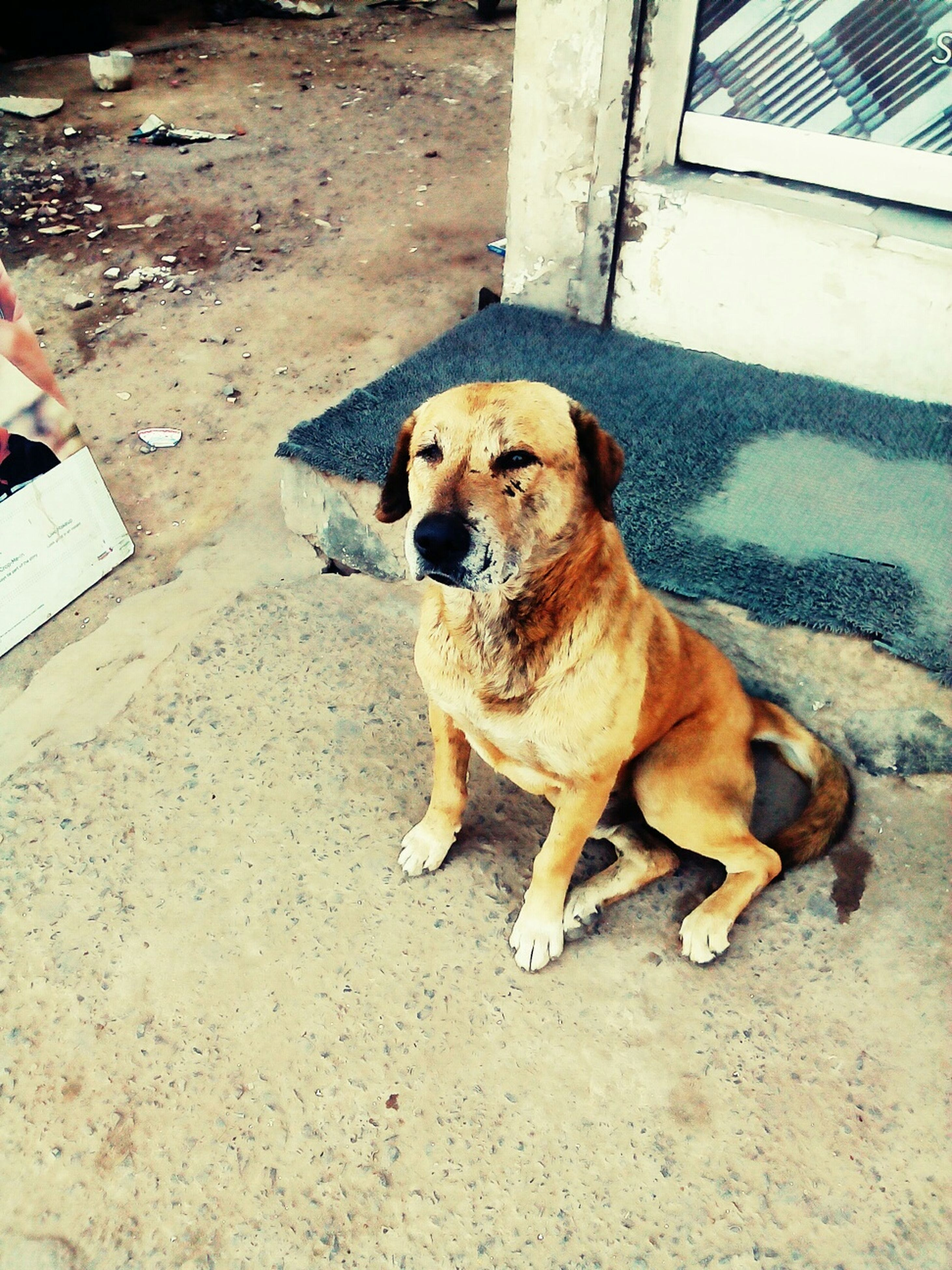 pets, domestic animals, dog, mammal, animal themes, one animal, sitting, portrait, looking at camera, full length, relaxation, high angle view, pet collar, street, zoology, no people, outdoors, day, standing
