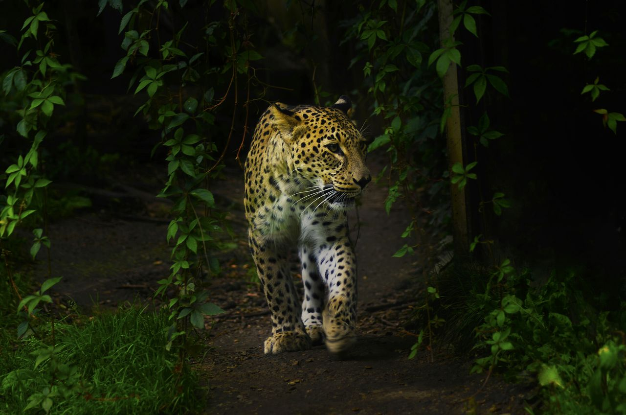 Beautiful stock photos of jaguar, Animal Themes, Animal Wildlife, Animals In The Wild, Day