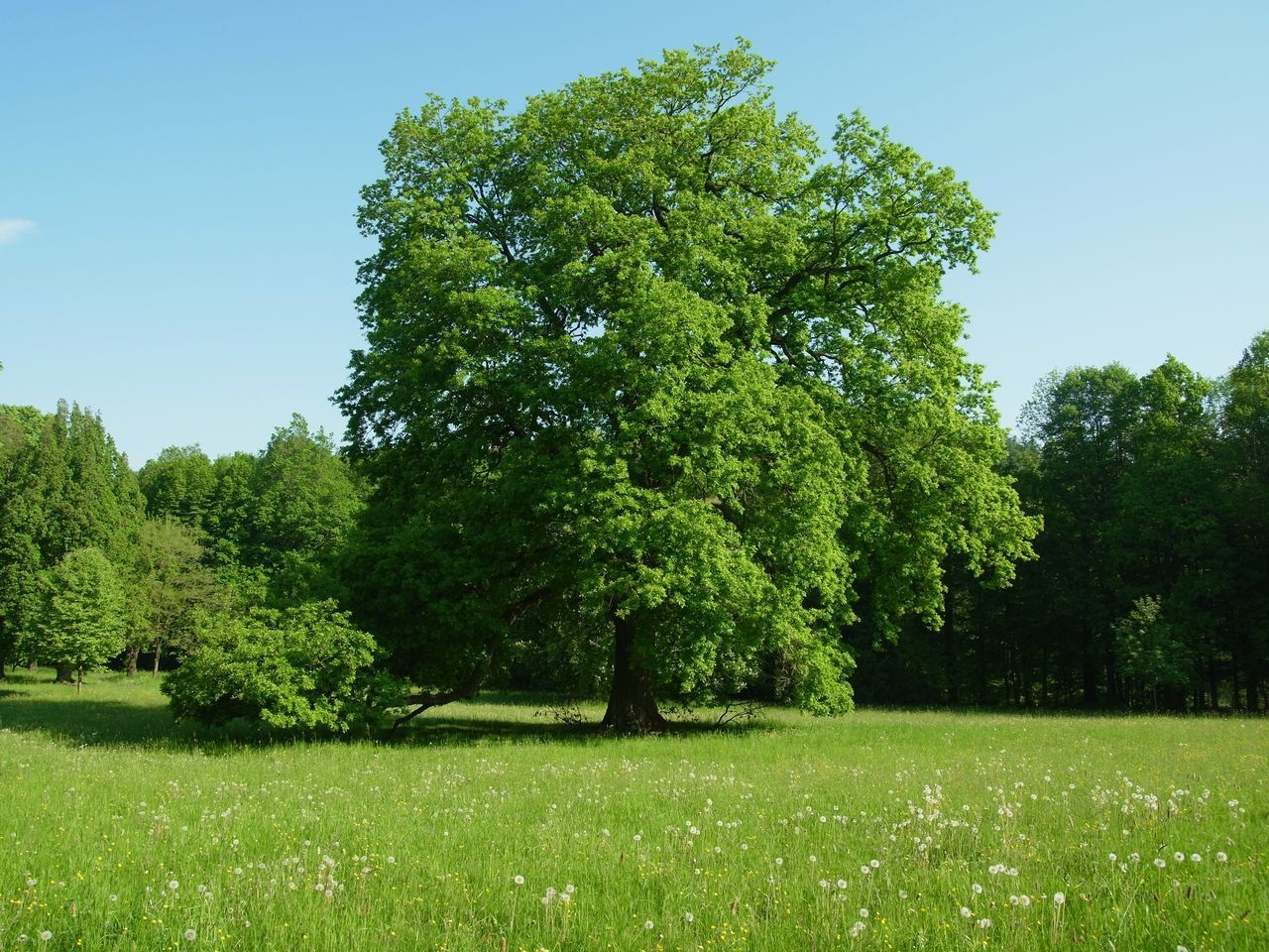 majesty Old Tree Beauty In Nature Clear Sky Day Field Freshness Grass Green Color Growth Landscape Meadows Nature No People Oak Outdoors Park Scenery Scenics Sky Tranquil Scene Tranquility Tree