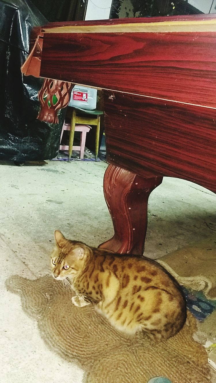 Pool Table . Cats For Life One Animal Indoors  Feline