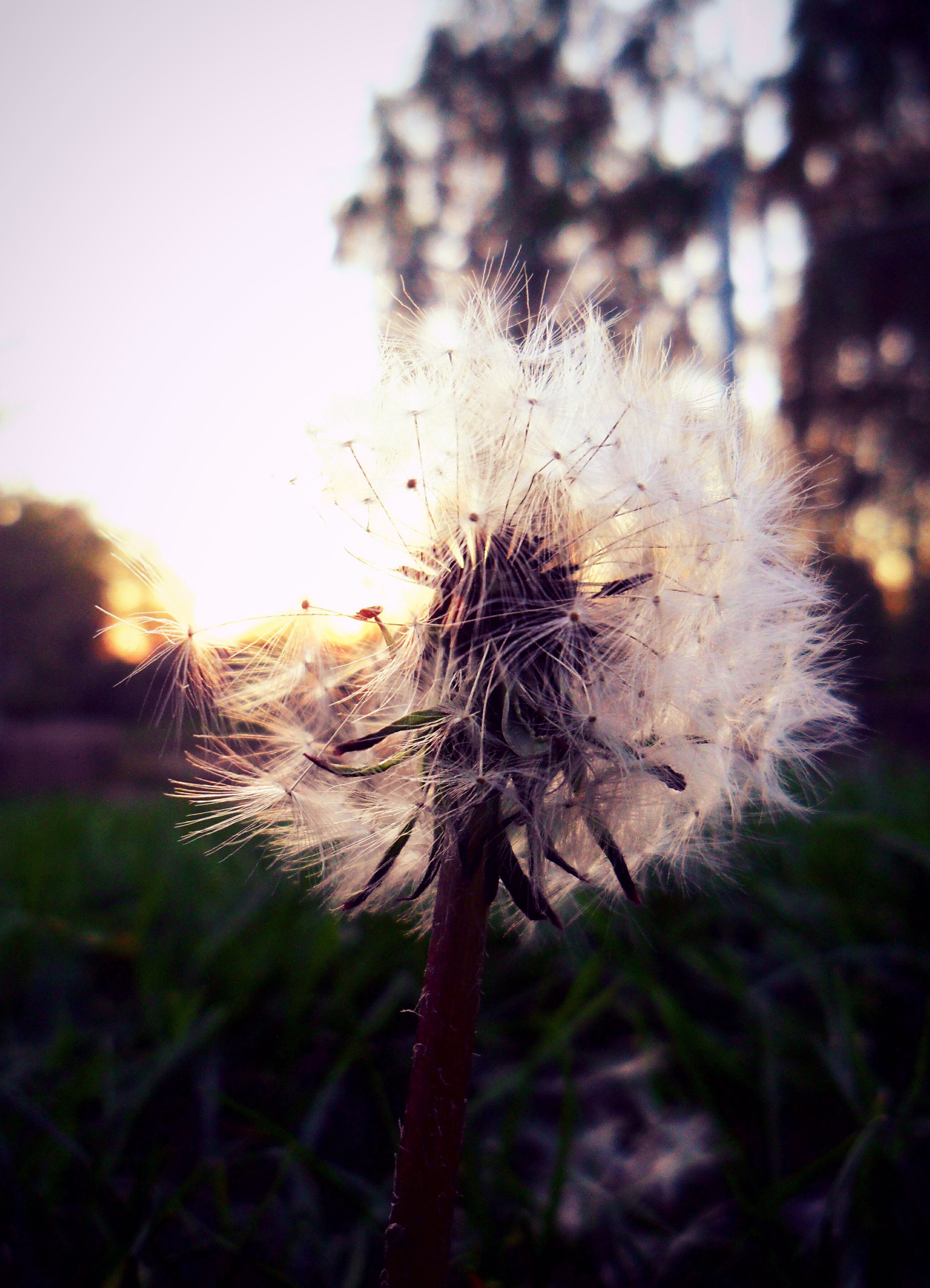 dandelion, growth, flower, fragility, focus on foreground, close-up, nature, freshness, beauty in nature, stem, plant, flower head, uncultivated, sky, outdoors, dandelion seed, no people, day, tranquility, selective focus, softness, grass, botany, growing, scenics