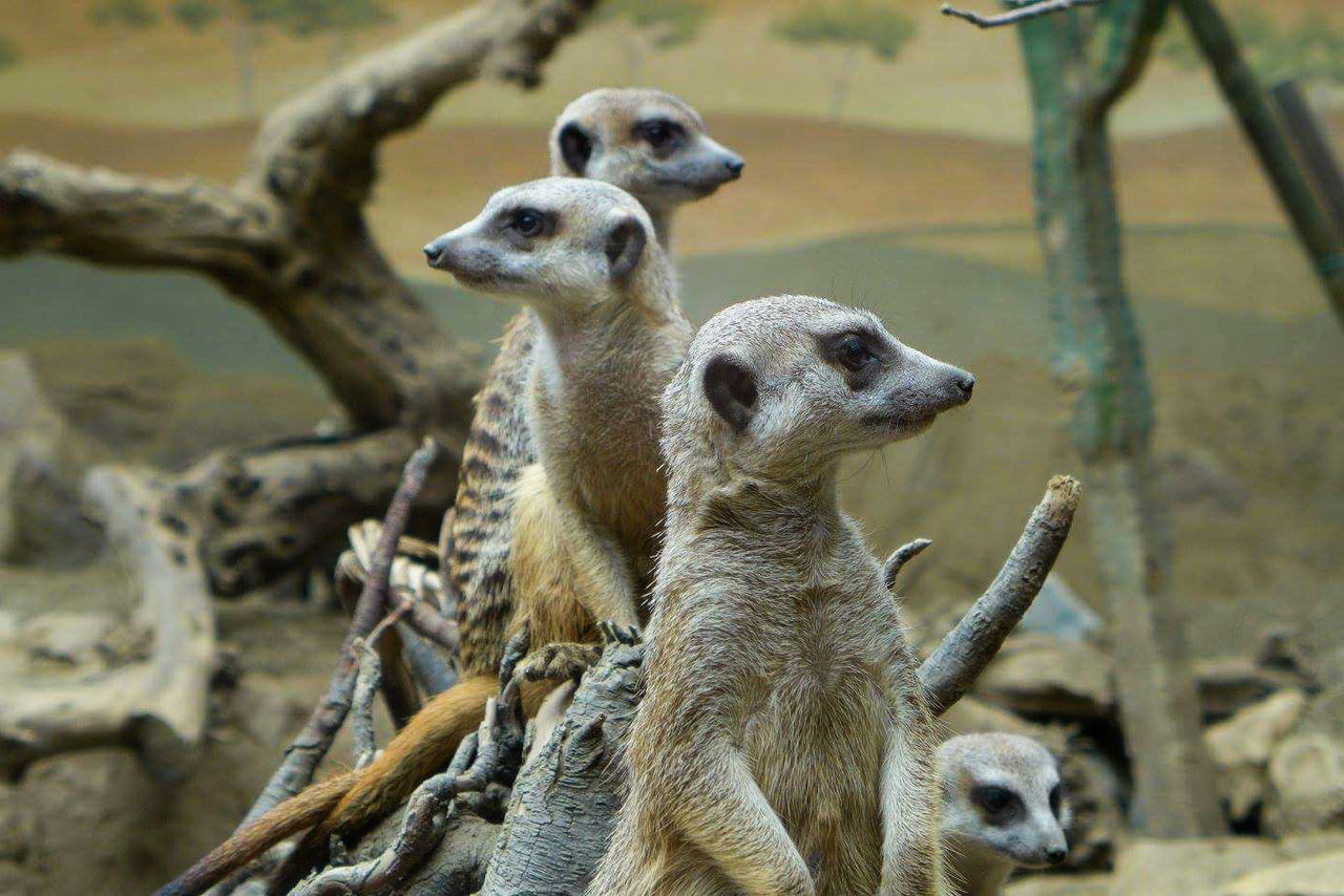 Meerkat Animals In The Wild Animal Wildlife Focus On Foreground Animal Themes No People Nature Close-up Mammal Day Beauty Traveling Photography Creativity Photograph Discovering Animal Wild Meerkats Meerkats Standing Meerkat Photography Meerkat Family Outdoors Colours