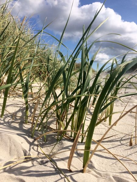Sand-Sedge on Amrum, North Frisian Islands, Germany Sky Sunlight Nature Sand Day Cloud - Sky Tranquility Sand-sedge Germany Amrum bBeachgGrowthoOutdoorsnNo PeopletTranquil ScenepPlantbBeauty In Nature